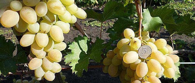 Раннесредний cорт винограда Банан ю чжи от -Япония Китай фото id: 1152070907