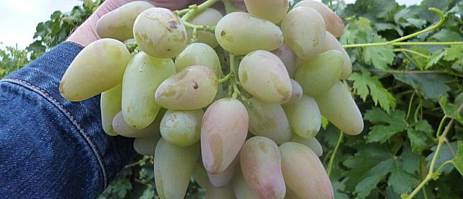 Ранний cорт винограда Кураж от -Гусев Сергей Эдуардович фото id: 638917144