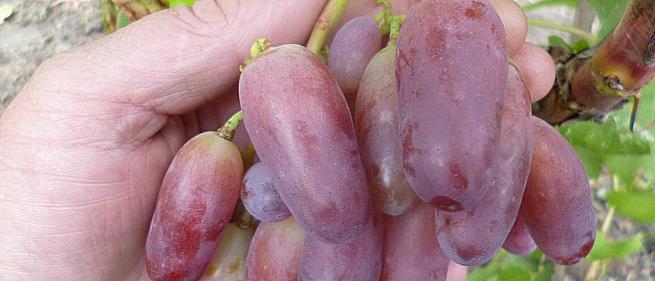 Раннесредний cорт винограда Маникюр Фингерс от -Япония Китай фото id: 462204630