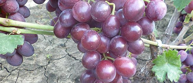 Очень ранний cорт винограда Катюша от -Калугин В. М. фото id: 629135708