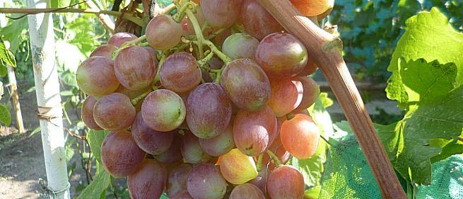 Ранний cорт винограда Мечта фермера от -Пысанка О.М. фото id: 1764349373