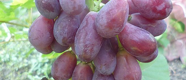 Ранний cорт винограда Найден от -Столовые сорта и ГФ фото id: 1468022859