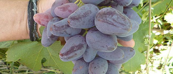 Очень ранний cорт винограда Перцовый Черный от -Калугин В. М. фото id: 2044644255