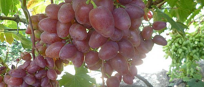 Ранний cорт винограда Полонез 50 от -Пысанка О.М. фото id: 1214805294