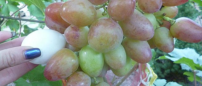 Ранний cорт винограда Юбиляр от -Столовые сорта и ГФ фото id: 2086283230