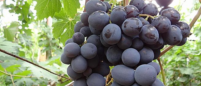 Очень ранний cорт винограда Подарок Несветая от -Павловский Е. Г. фото id: 1844636605