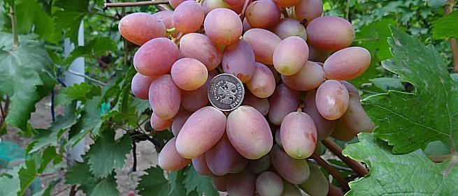 Ранний cорт винограда Преображение от -Крайнов В. Н. фото id: 1281587853
