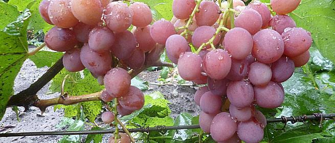 Очень ранний cорт винограда Румын от -Гусев Сергей Эдуардович фото id: 747578213