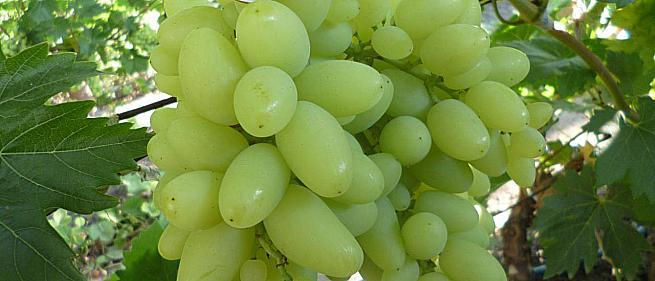 Ранний cорт винограда Сильвер от -Гусев Сергей Эдуардович фото id: 553557182