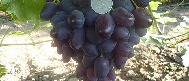 Ранний cорт винограда Синбад от -Гусев Сергей Эдуардович фото id: 720276097