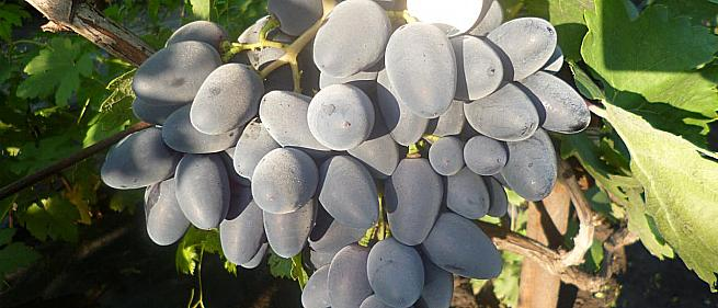 Очень ранний cорт винограда Тимоти от -Гусев Сергей Эдуардович фото id: 1532424058