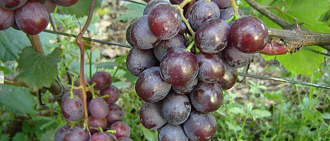 Очень ранний cорт винограда Тюльпан от -Павловский Е. Г. фото id: 163111205