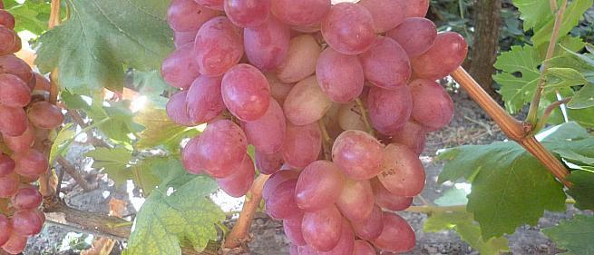 Очень ранний cорт винограда Ух-ты от -Столовые сорта и ГФ фото id: 1677517192