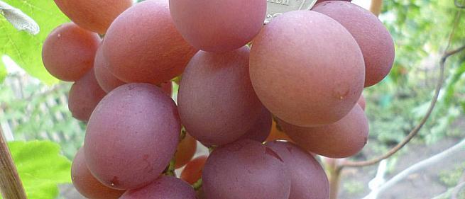 Ранний cорт винограда Воплощение от -Гусев Сергей Эдуардович фото id: 863778977