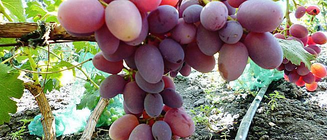 Сорта и гибридные формы винограда от Капелюшного В.У.