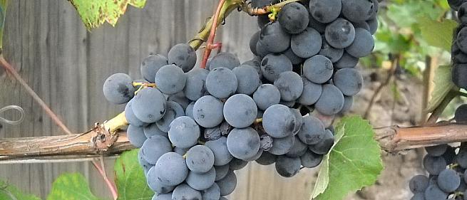 Очень ранний cорт винограда Симоне от -Технические и винные фото id: 538590181
