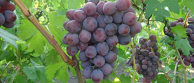 Очень ранний cорт винограда Заря Несветая от -Павловский Е. Г. фото id: 145482051