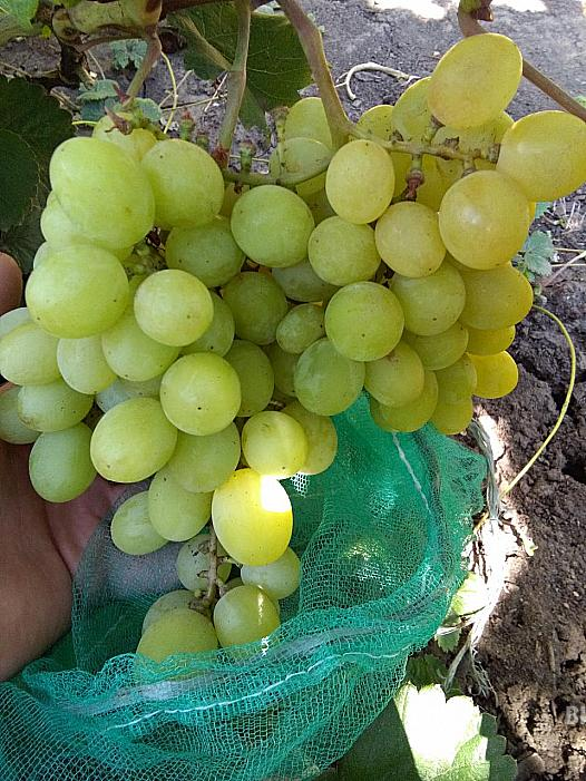 Ранний cорт винограда Блондинка от -Гусев Сергей Эдуардович фото id: 1795447496