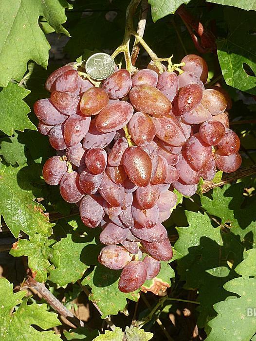 Ранний cорт винограда Франт от -Гусев Сергей Эдуардович фото id: 394346694