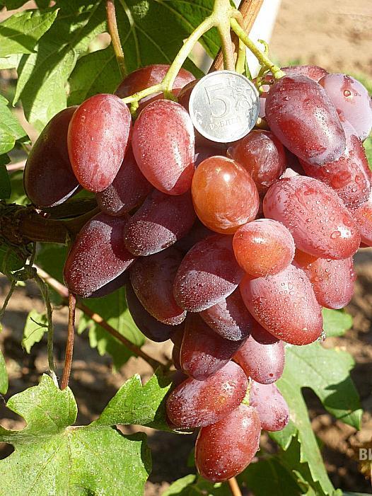 Очень ранний cорт винограда Линда от -Гусев Сергей Эдуардович фото id: 711834963