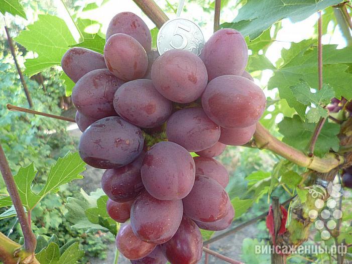 Очень ранний cорт винограда Ирис от -Криуля С.и Китайченко А. фото id: 1732621269