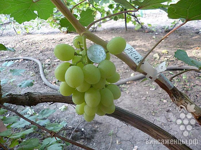 Ранний cорт винограда Русич от -Гусев Сергей Эдуардович фото id: 514669284