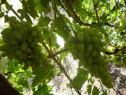 Очень ранний cорт винограда Артек от -Гусев Сергей Эдуардович фото id: 1262184246